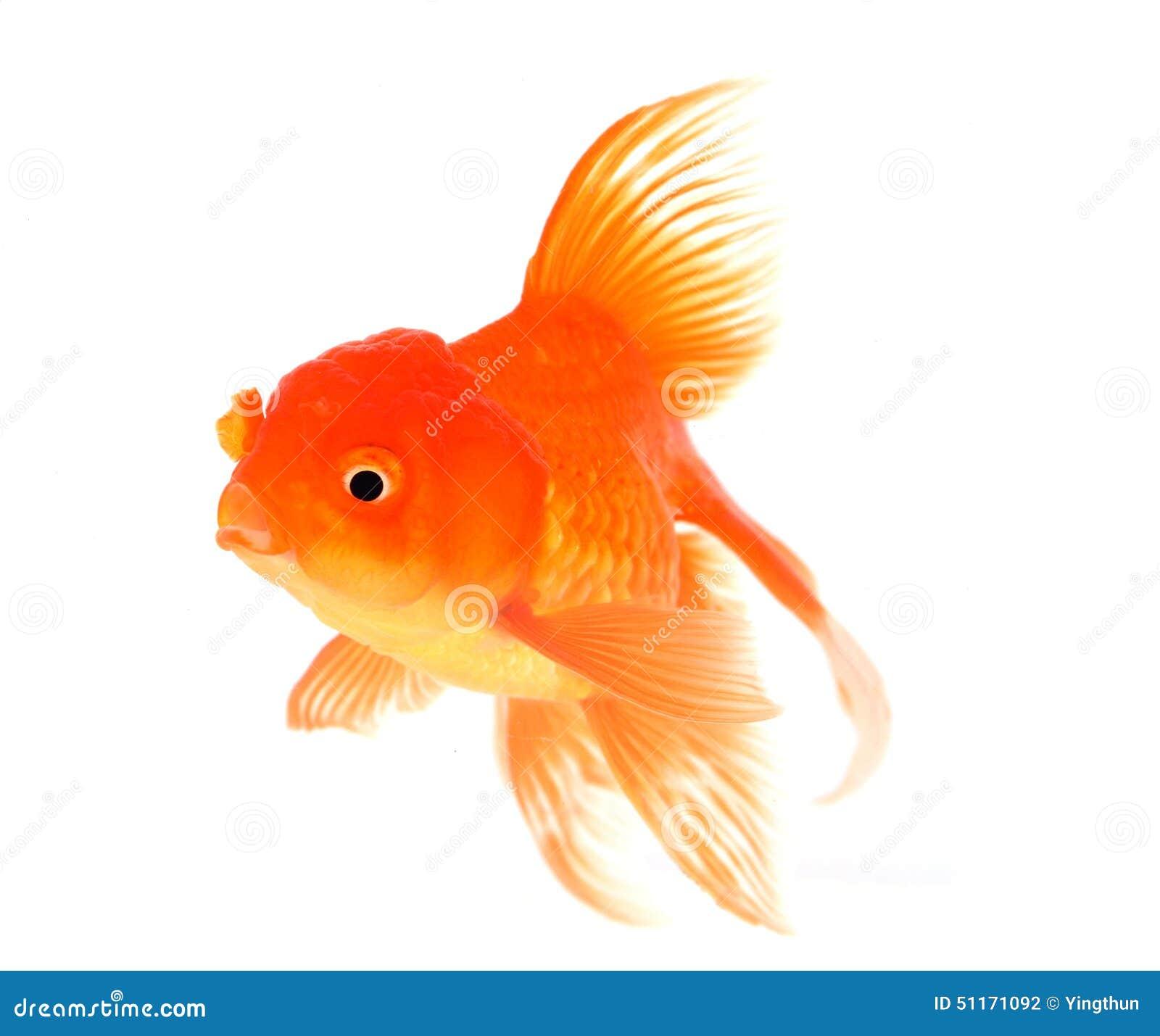 Goldfish with white on background