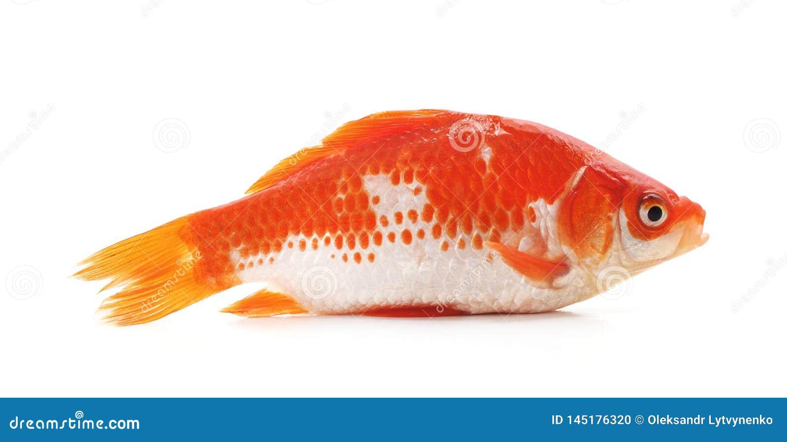 Goldfish on white background