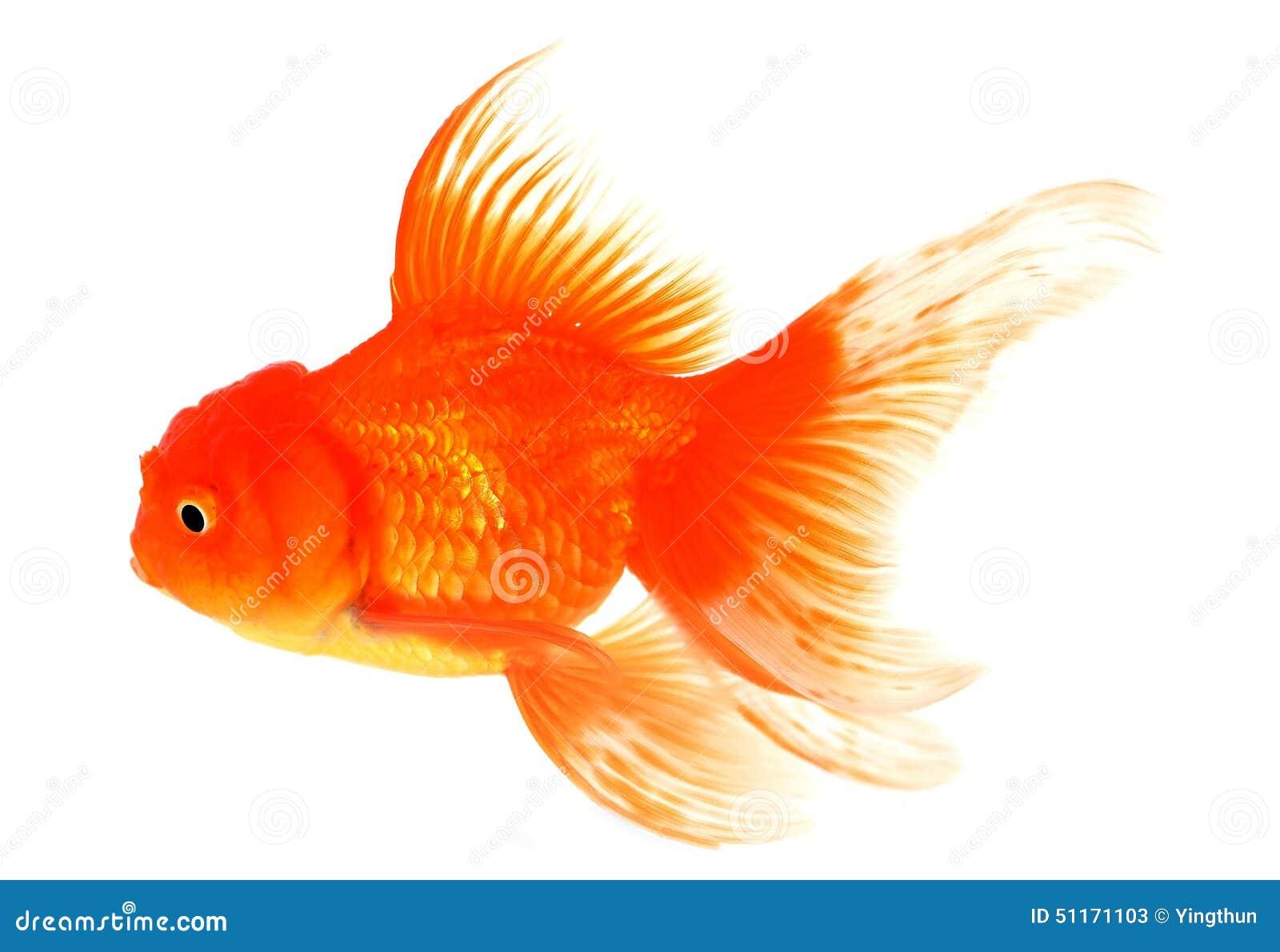 Goldfish z bielem na tle