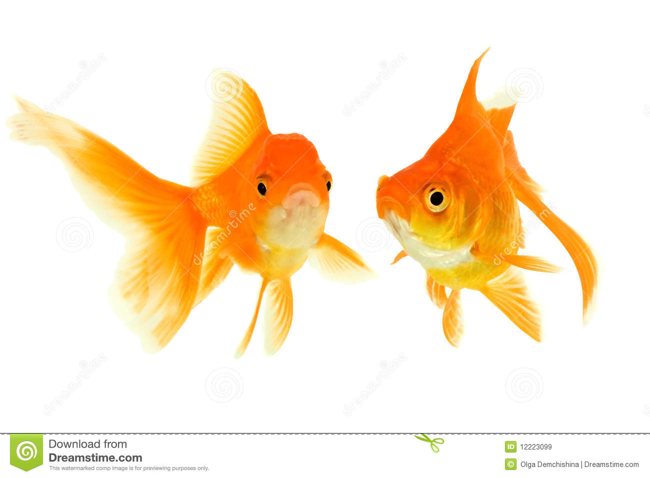 Female and the male of the goldfishes isolated on a white background.