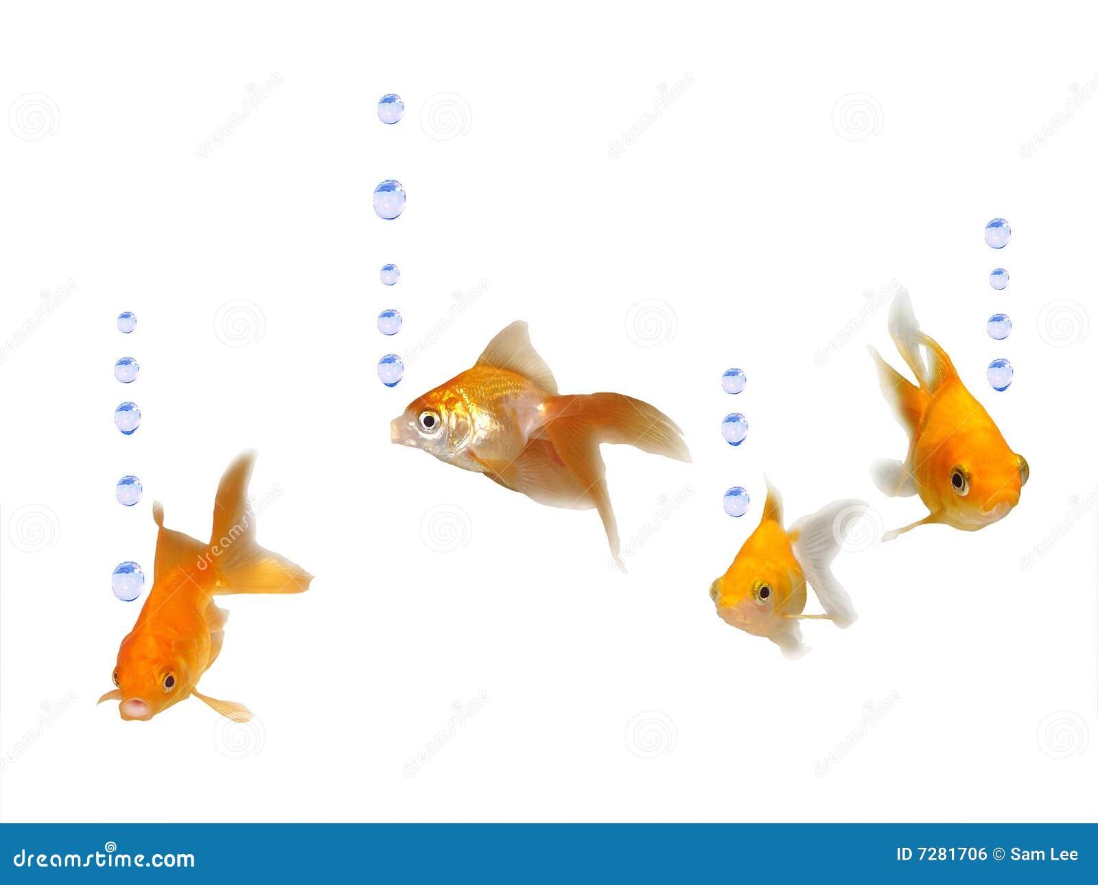 Goldfishes cómodos con las burbujas del agua