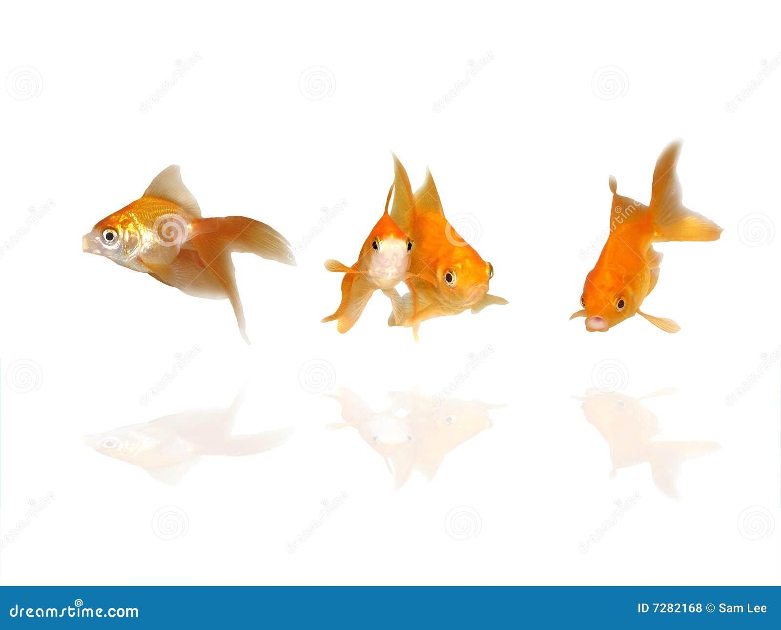 Goldfishes hermosos con reflexiones del agua