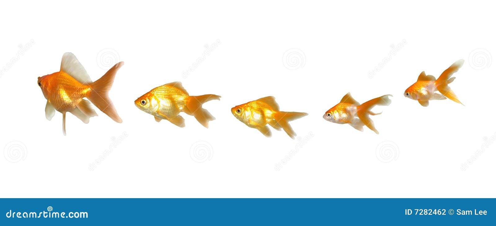 Goldfishes trabajo en equipo y dirección