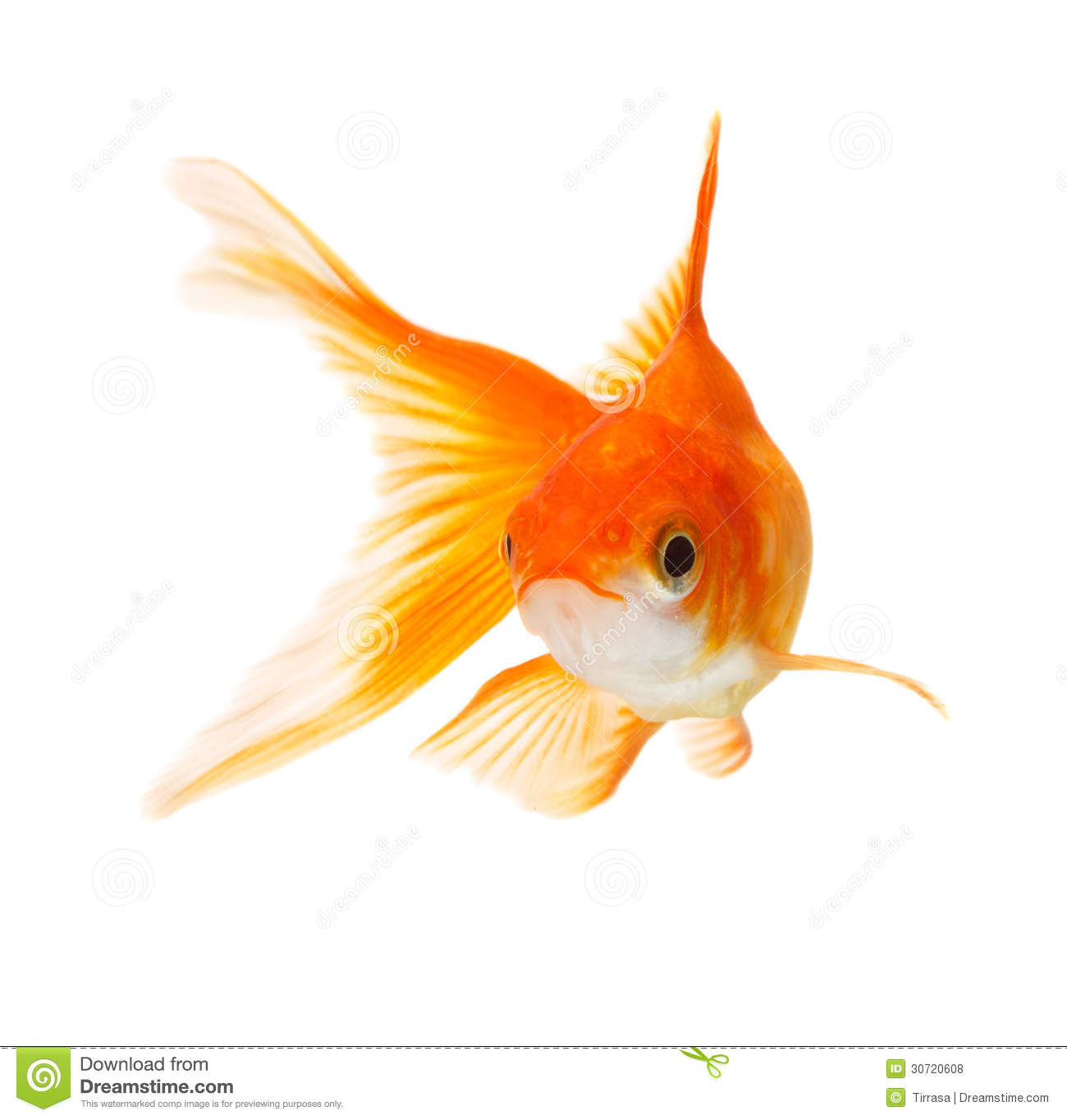Golf fish stock photo image of bowl color aquatic for Fish for gold