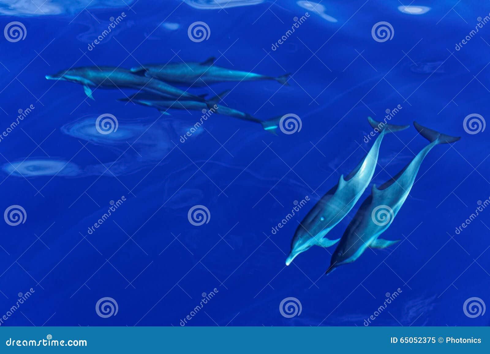 Golfinhos listrados da ilha de Carribian de Domínica