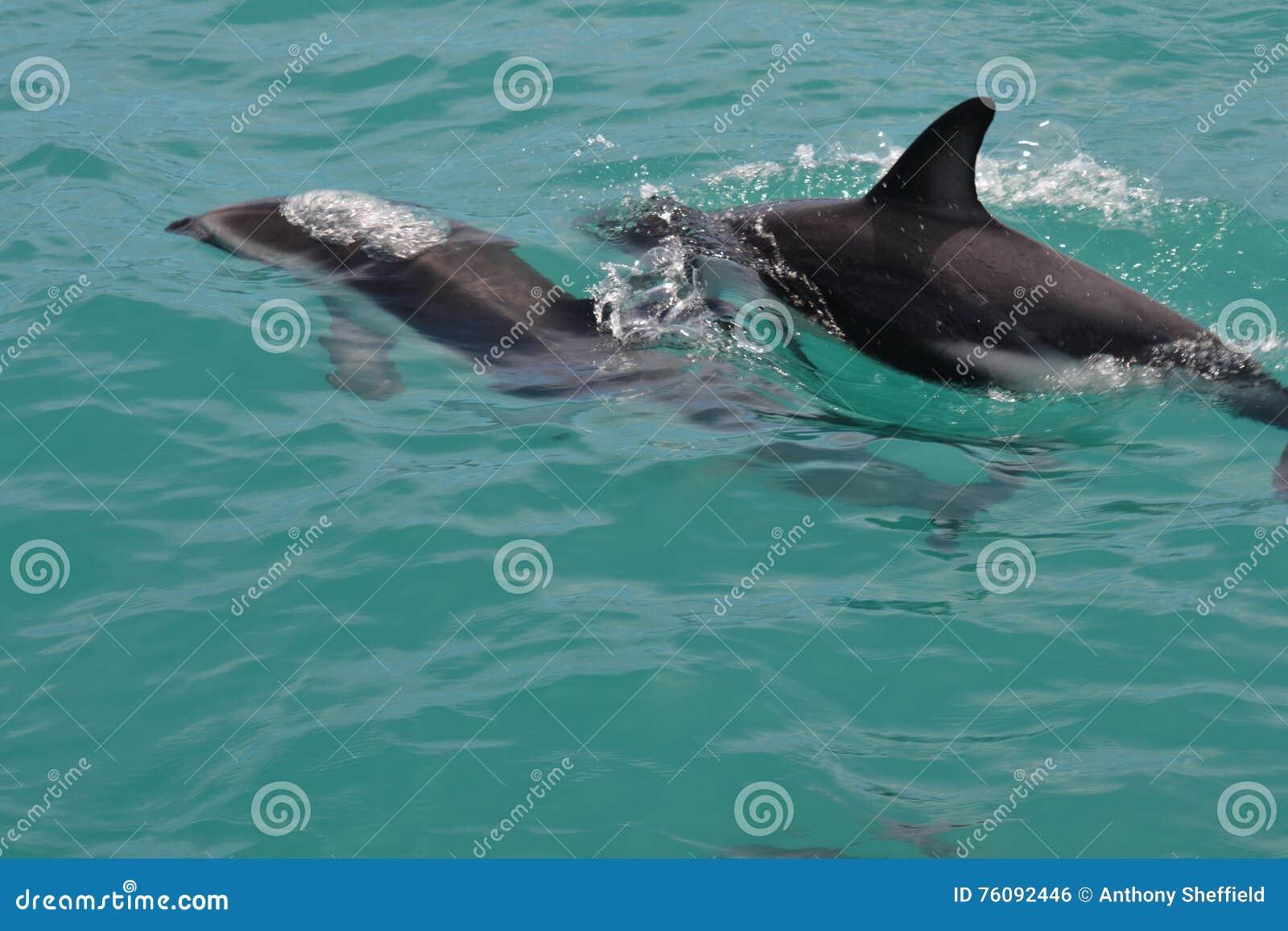Golfinhos obscuros em Kaikoura, Nova Zelândia