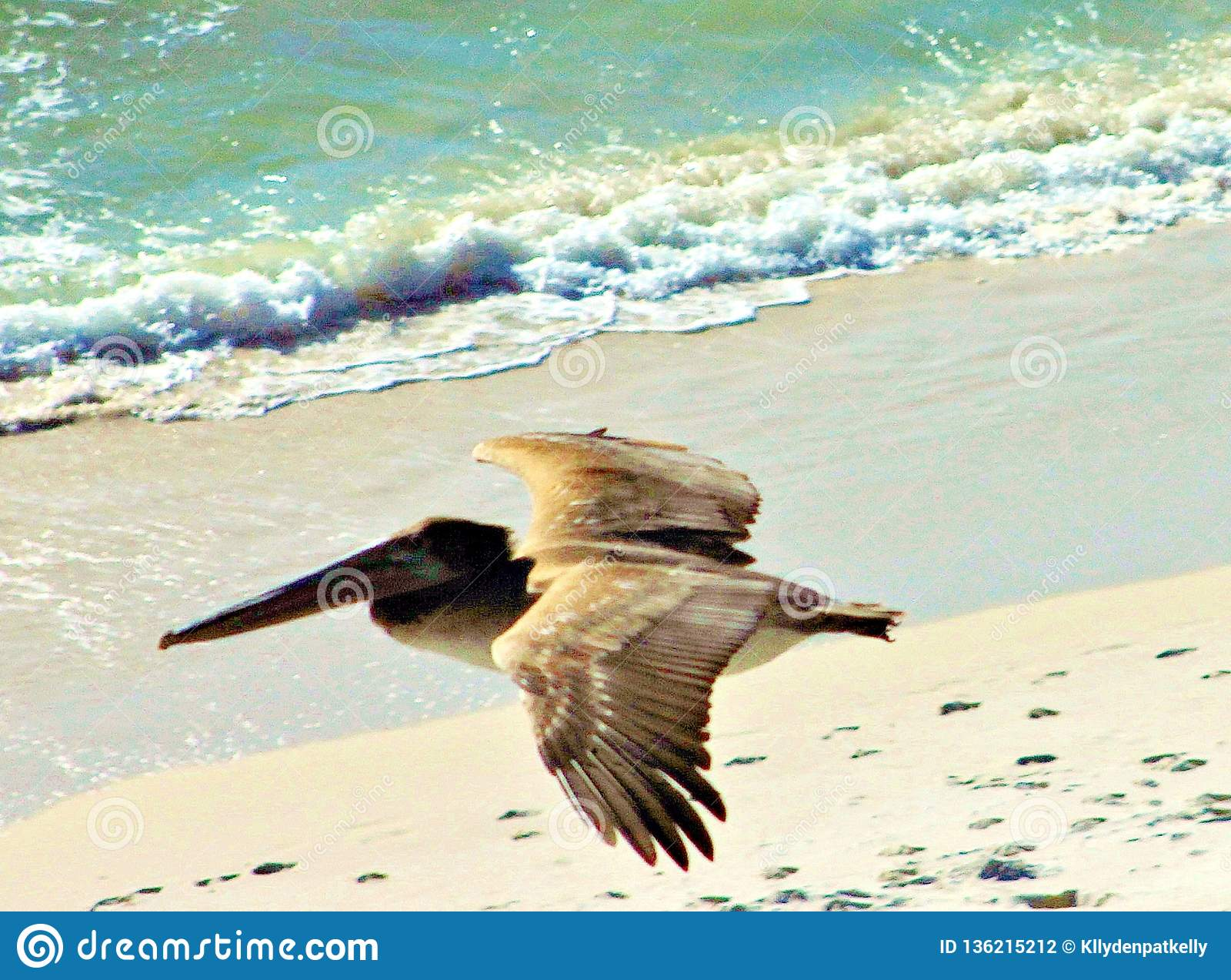 Golfo do México da praia da Cidade do Panamá perto do por do sol Pelicano que come a andorinha