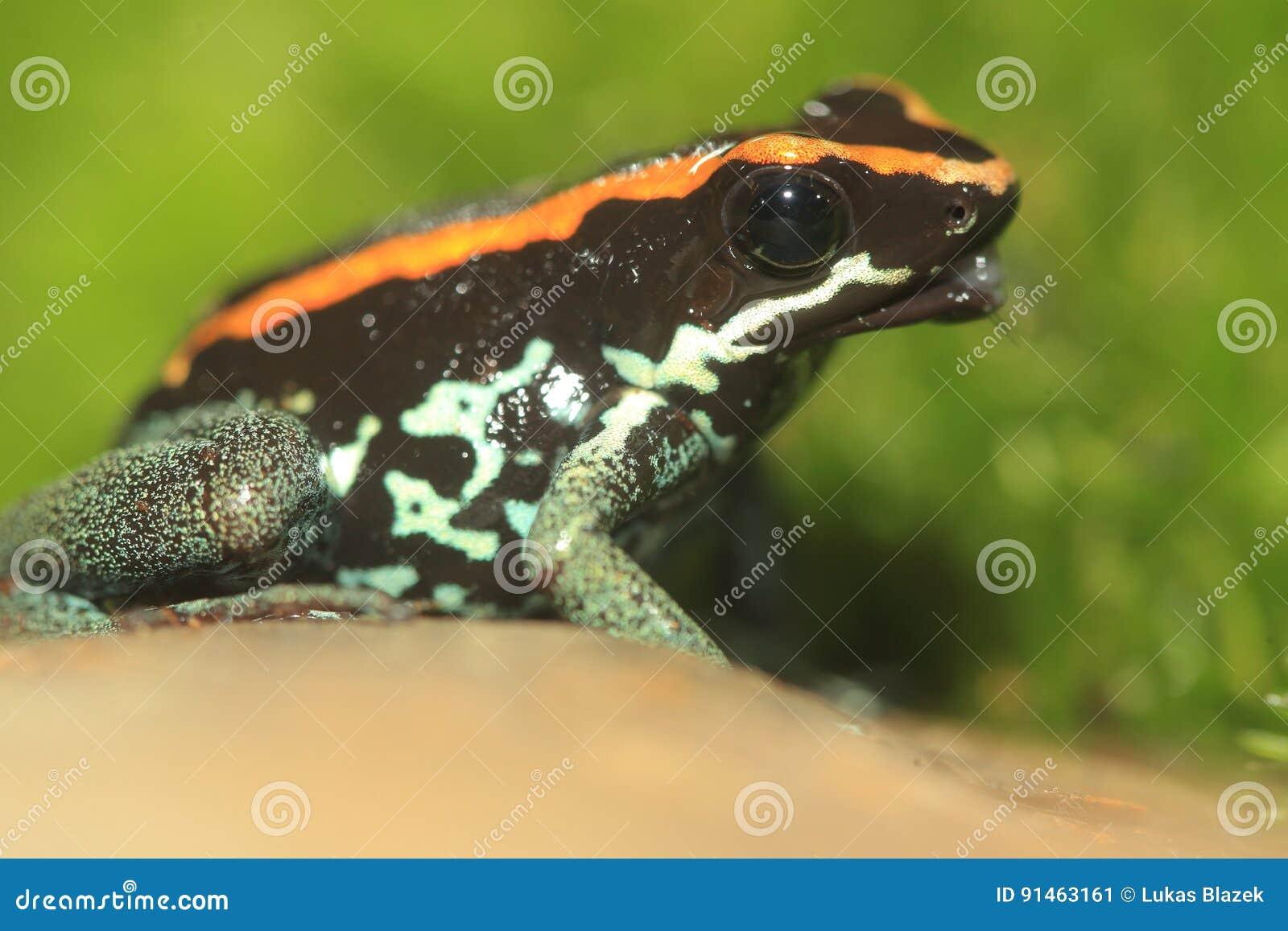 Golfodulcean poison frog