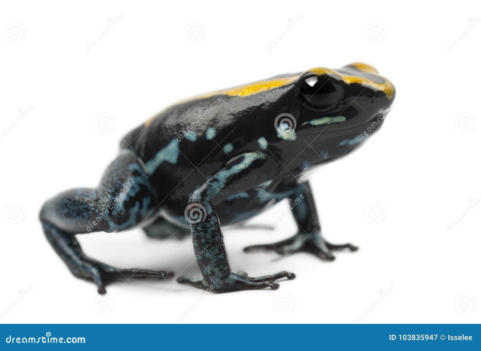 Golfodulcean Poison Frog, Phyllobates vittatus, against white ba