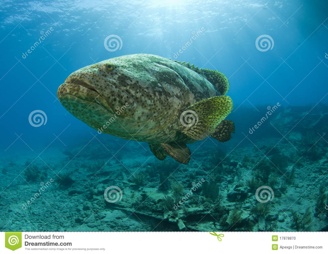 Goliath grouper in the light