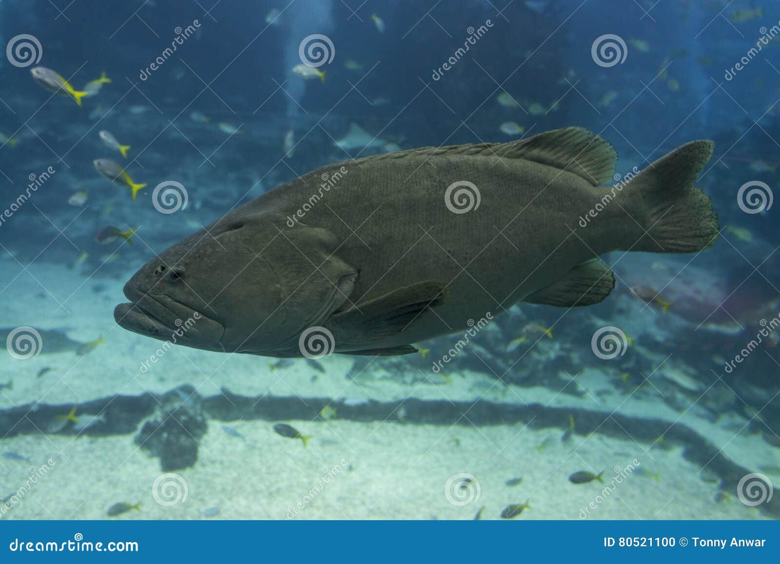 Goliath Grouper Stock Photo Image Of Fish Achovy Symbiosis 80521100