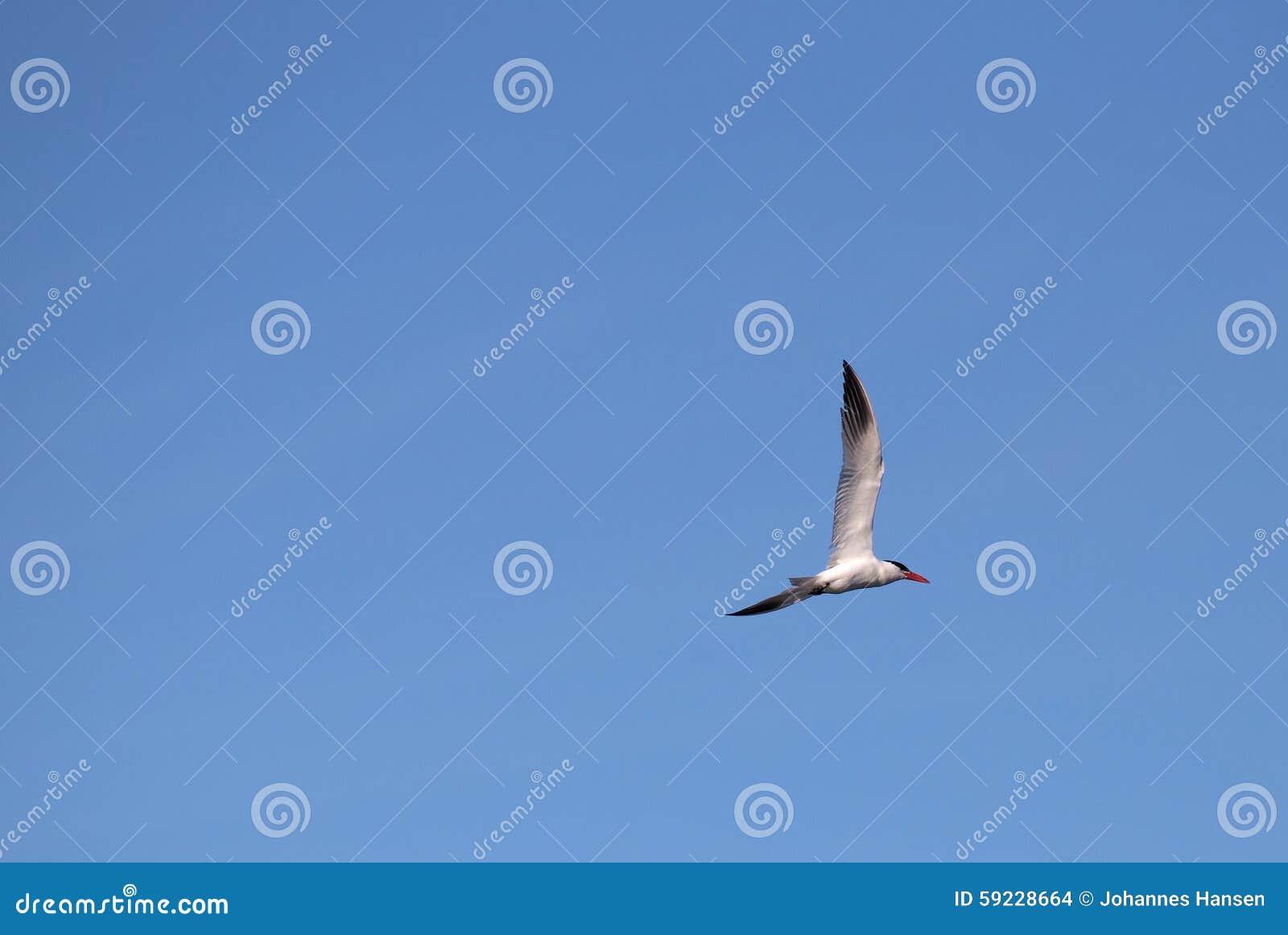 Download Golondrina De Mar Caspia En El Cielo Azul Foto de archivo - Imagen de distante, tern: 59228664