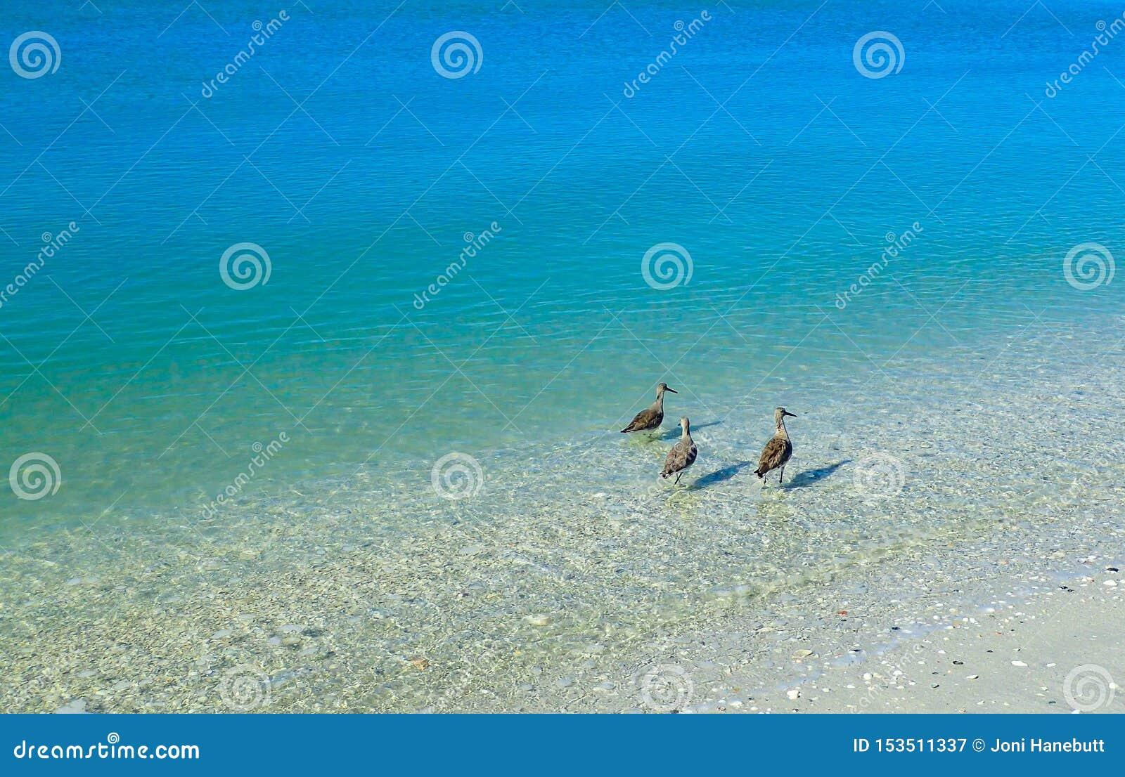 Golondrinas de mar que se colocan en el océano azul claro que busca la comida