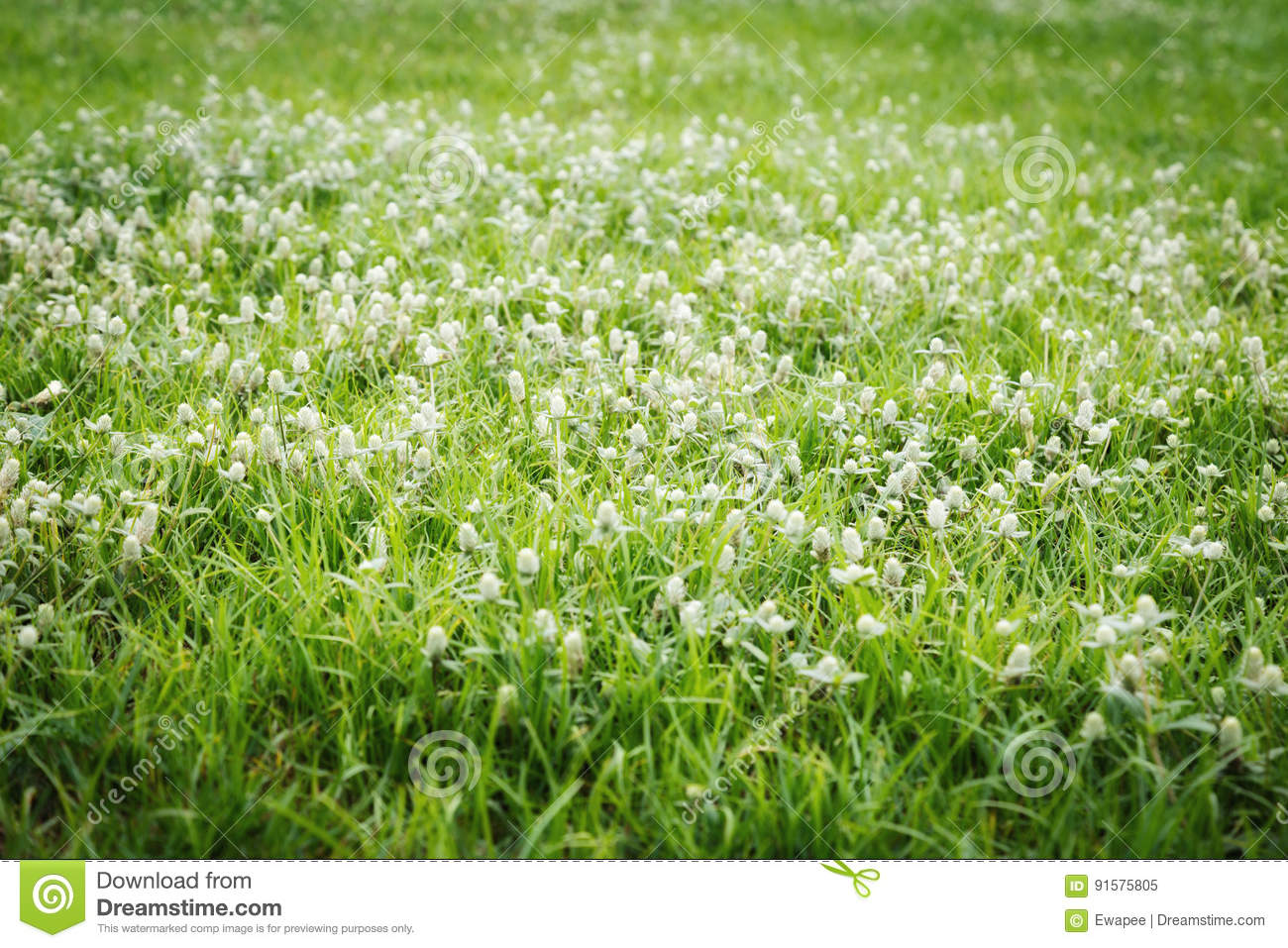 Gomphrena Weed Flowers Stock Image Image Of Weed Field 91575805