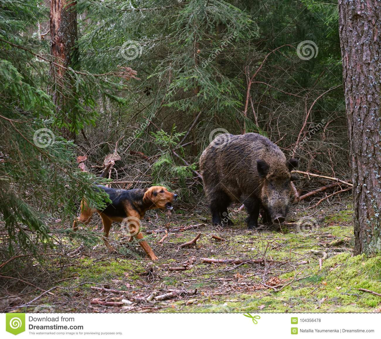 Hunting Dog Attack Wild Boar Stock Photo - Image of breed