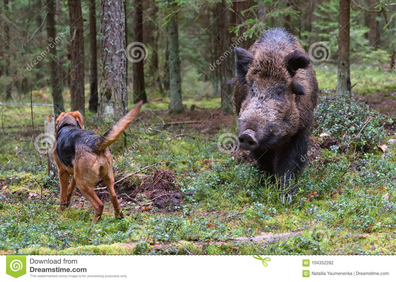 Hunting on wildboar stock photo  Image of booty, reward