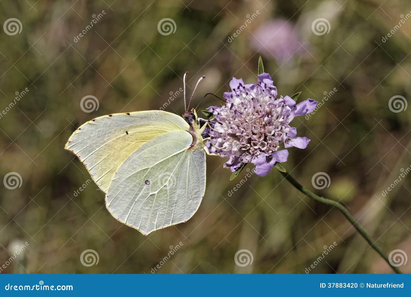 Gonepteryx Cleopatra, de vlinder van Cleopatra van Zuidelijk Frankrijk