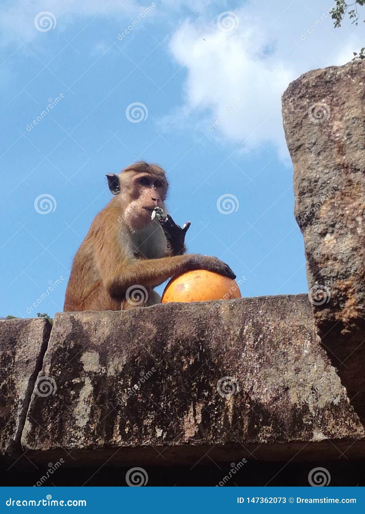 Monkey eating a coconut in Shiva temple, Sri Lanka
