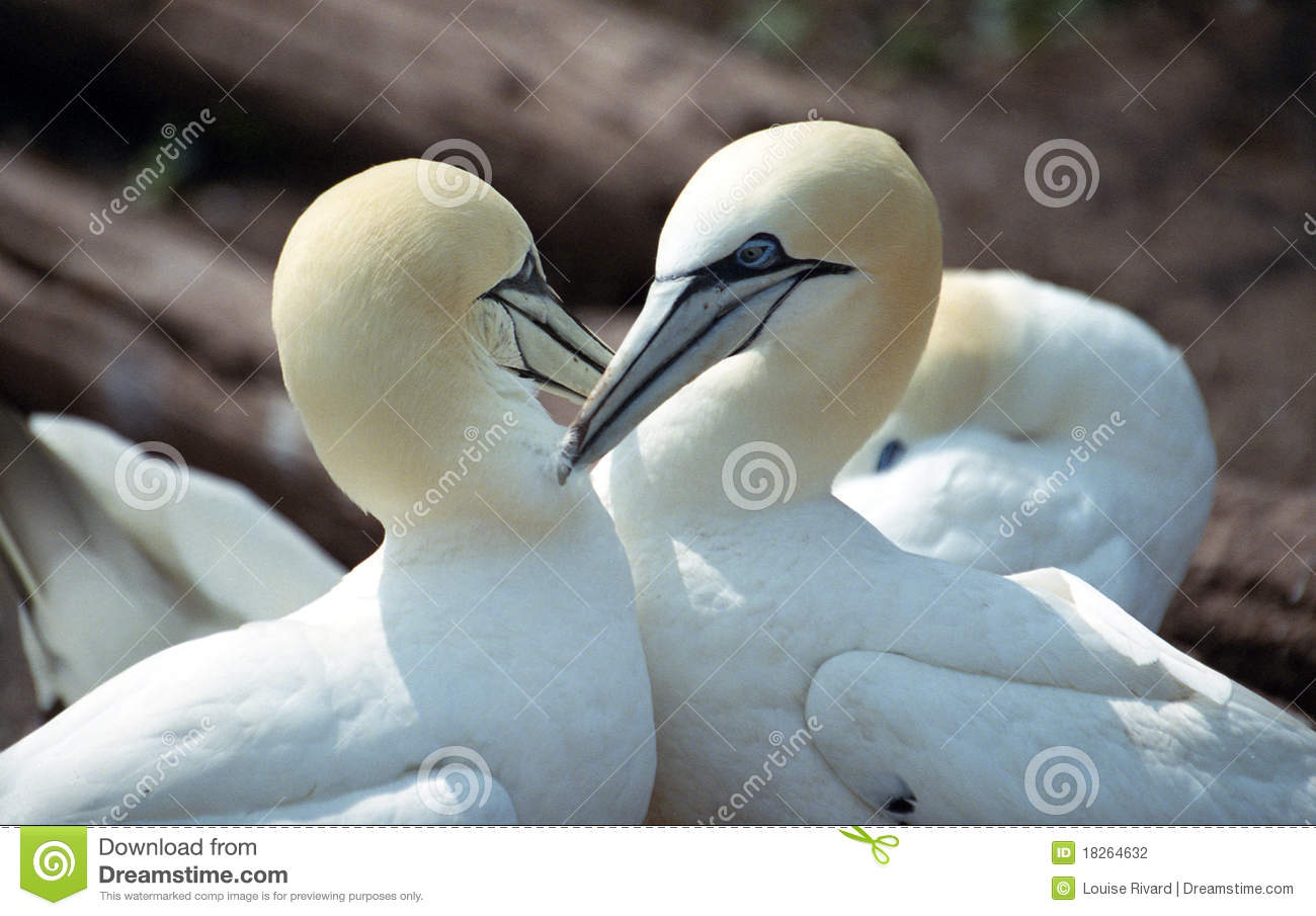 Good Morning Stock Photo Image Of Gannet Gaspesia Touch 18264632