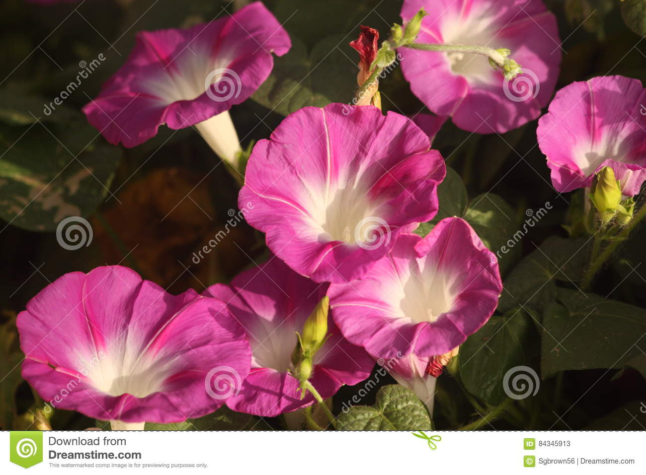 Good Morning Glories Stock Image Image Of Flora Nature 84345913