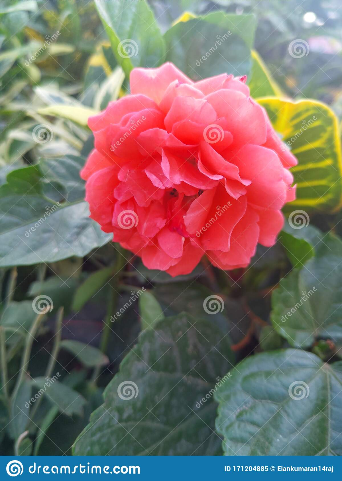 Good Morning Rose Flower Beautiful Sunlight From Back Side In A Garden City Stock Image Image Of Good Garden 171204885