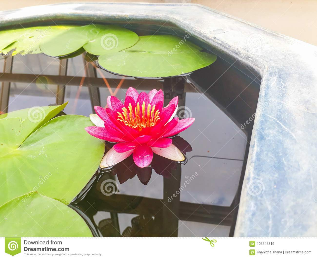 Good Night Flower Stock Image Image Of Thailand Good 105545319