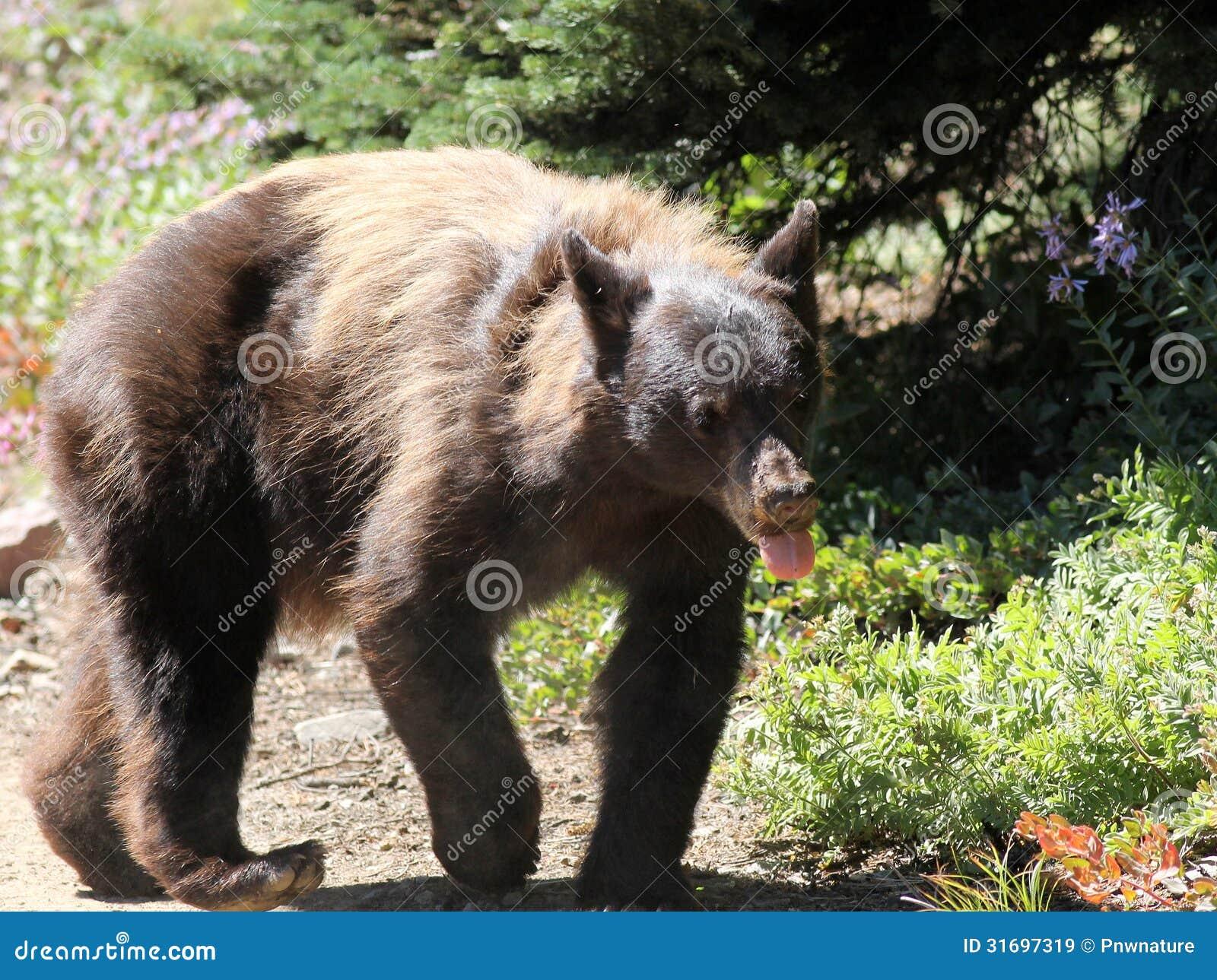 black singles in mount rainier I saw this half-grown black bear walking down the road at sunrise in mt rainier national park first bear i've ran across in the wild.
