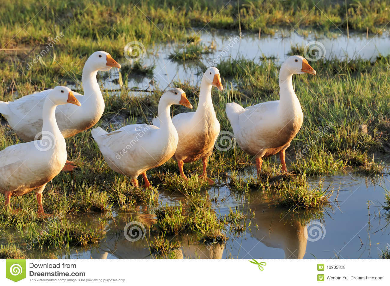 Download Goose stock photo. Image of swamps, birds, water, feather - 10905328
