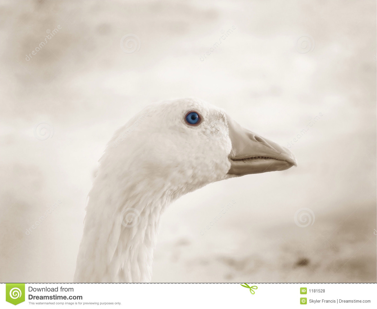 Goose with blue eye