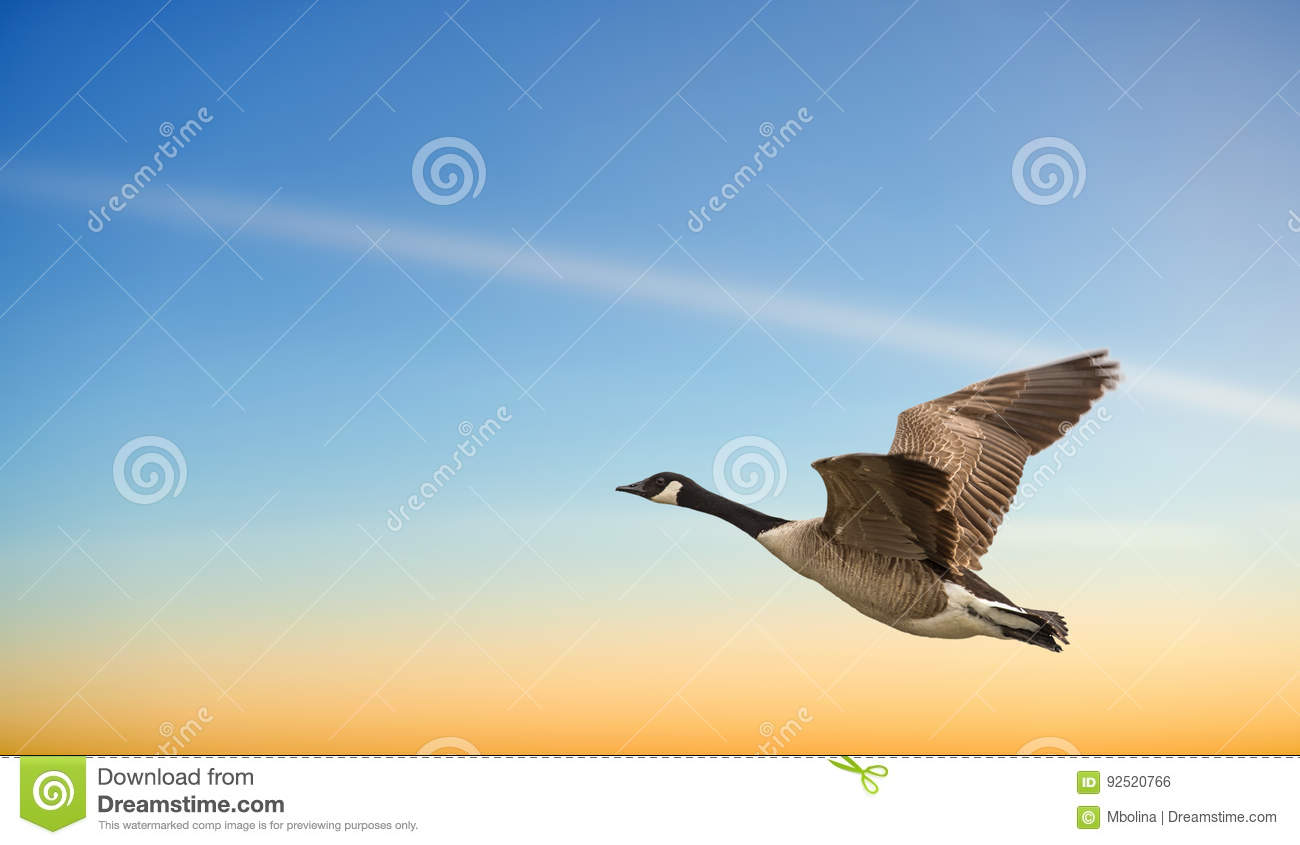 Goose in flight against blue and yellow sky stock photo image of royalty free stock photo biocorpaavc