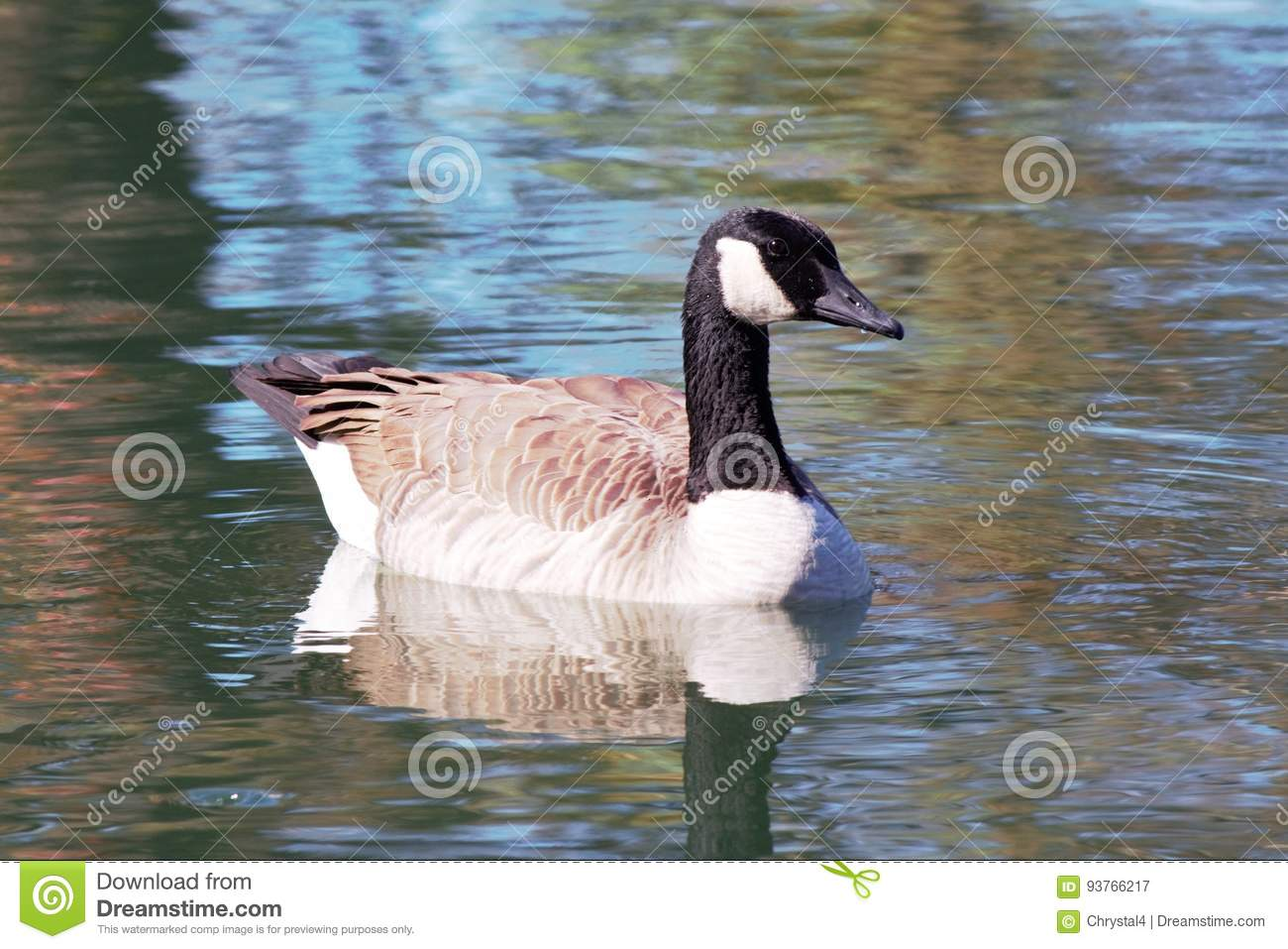 Goose floating on a calm pond