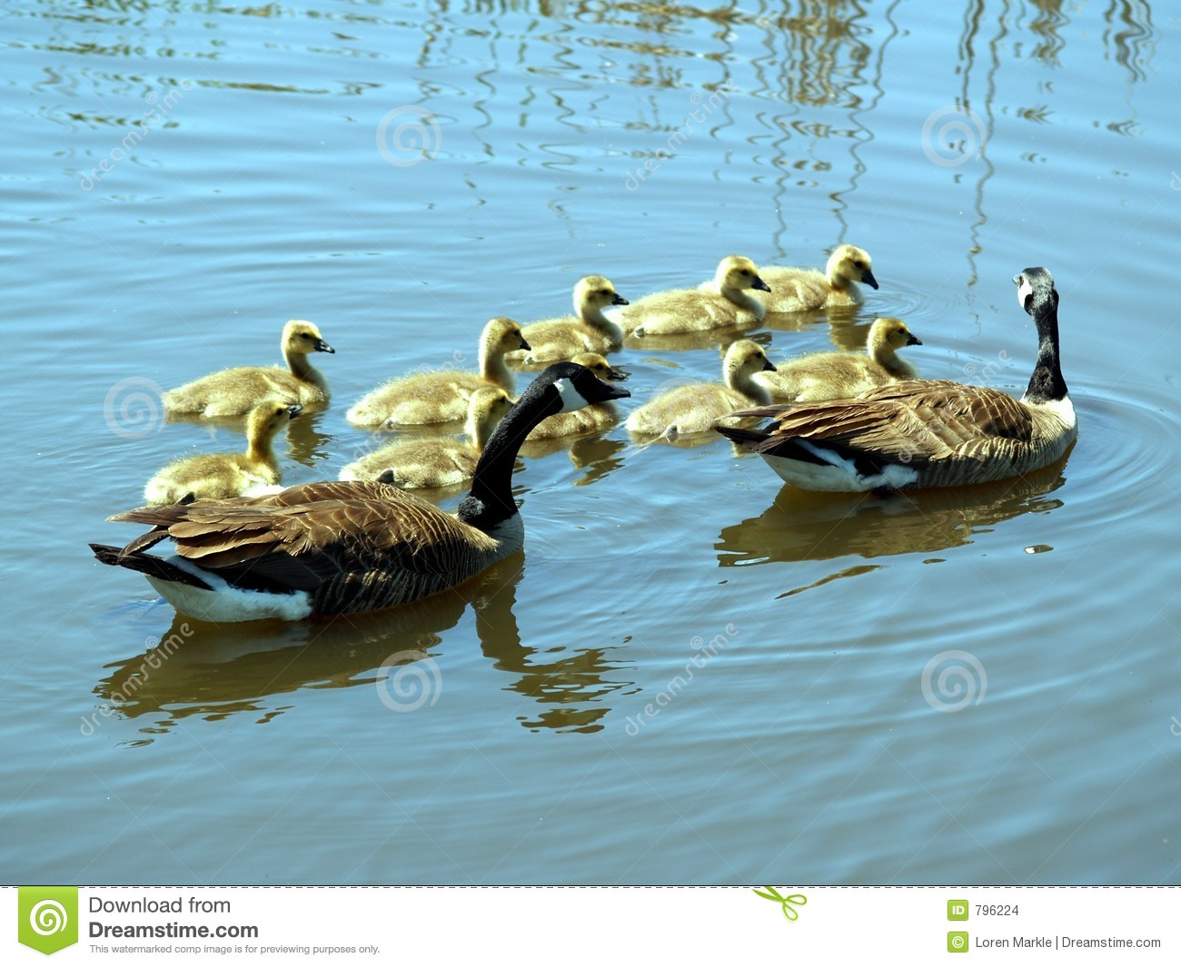 goose and gander stock images image 796224