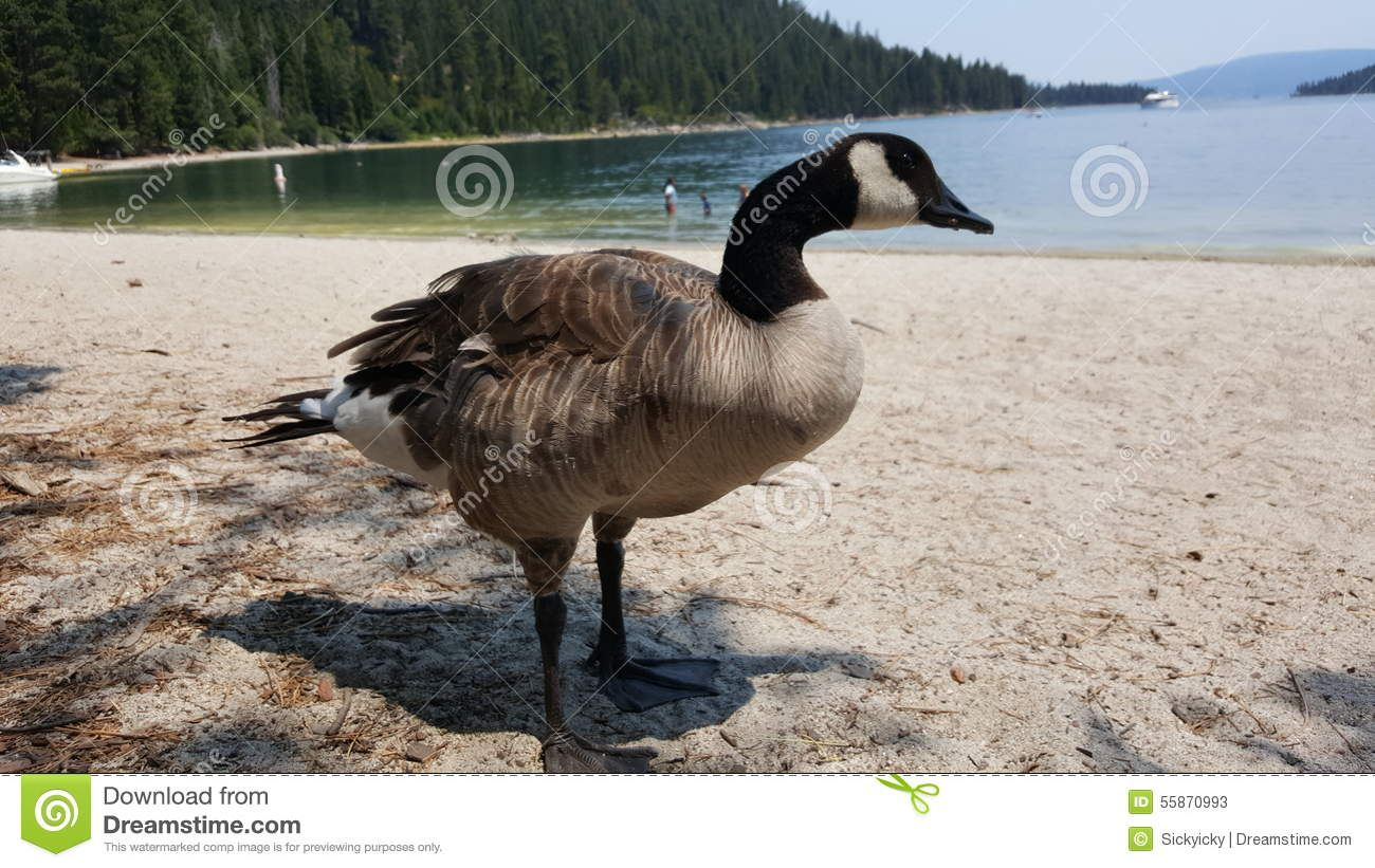 Download A goose stock image. Image of goose, black, lakes, feathers - 55870993