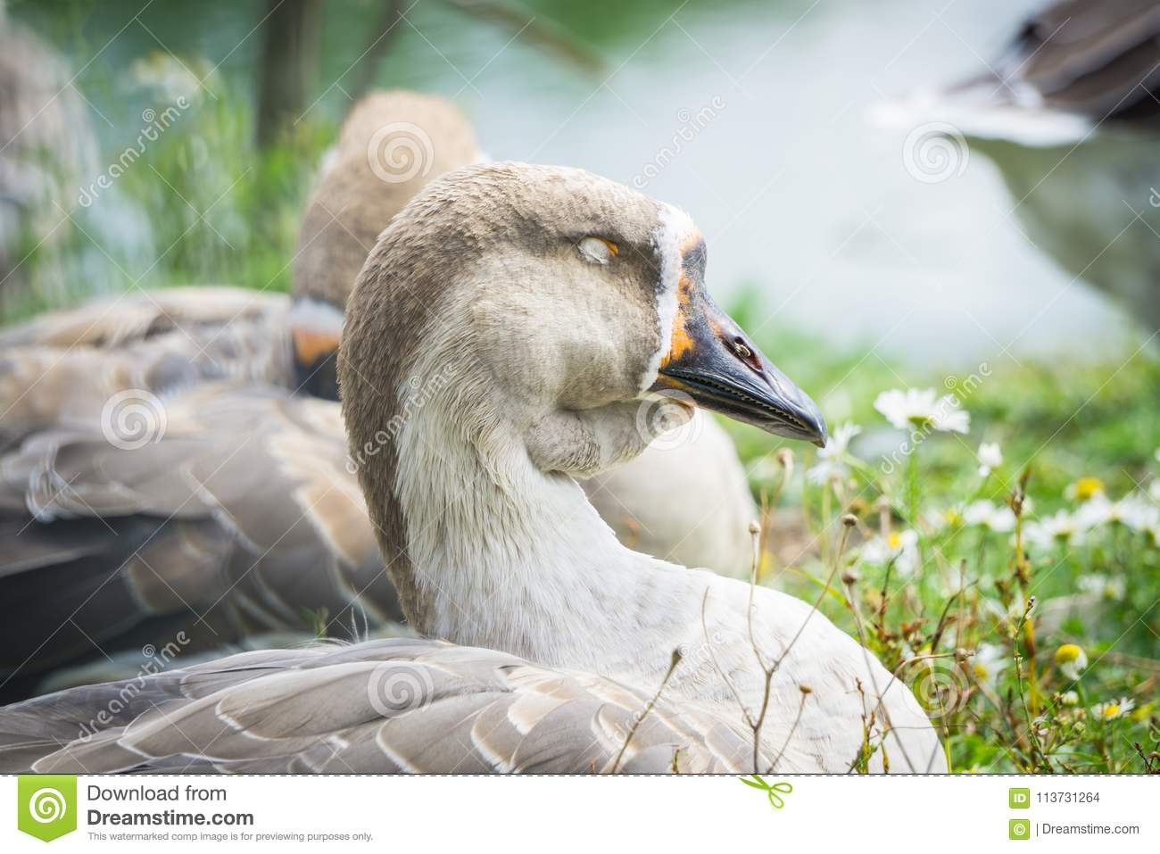 Goose walking and sitting on the grass in a zoo near a pond in w