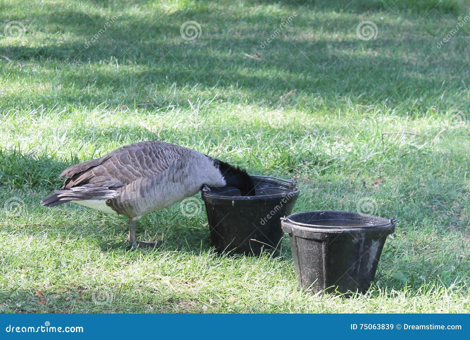 Goose in water bowl