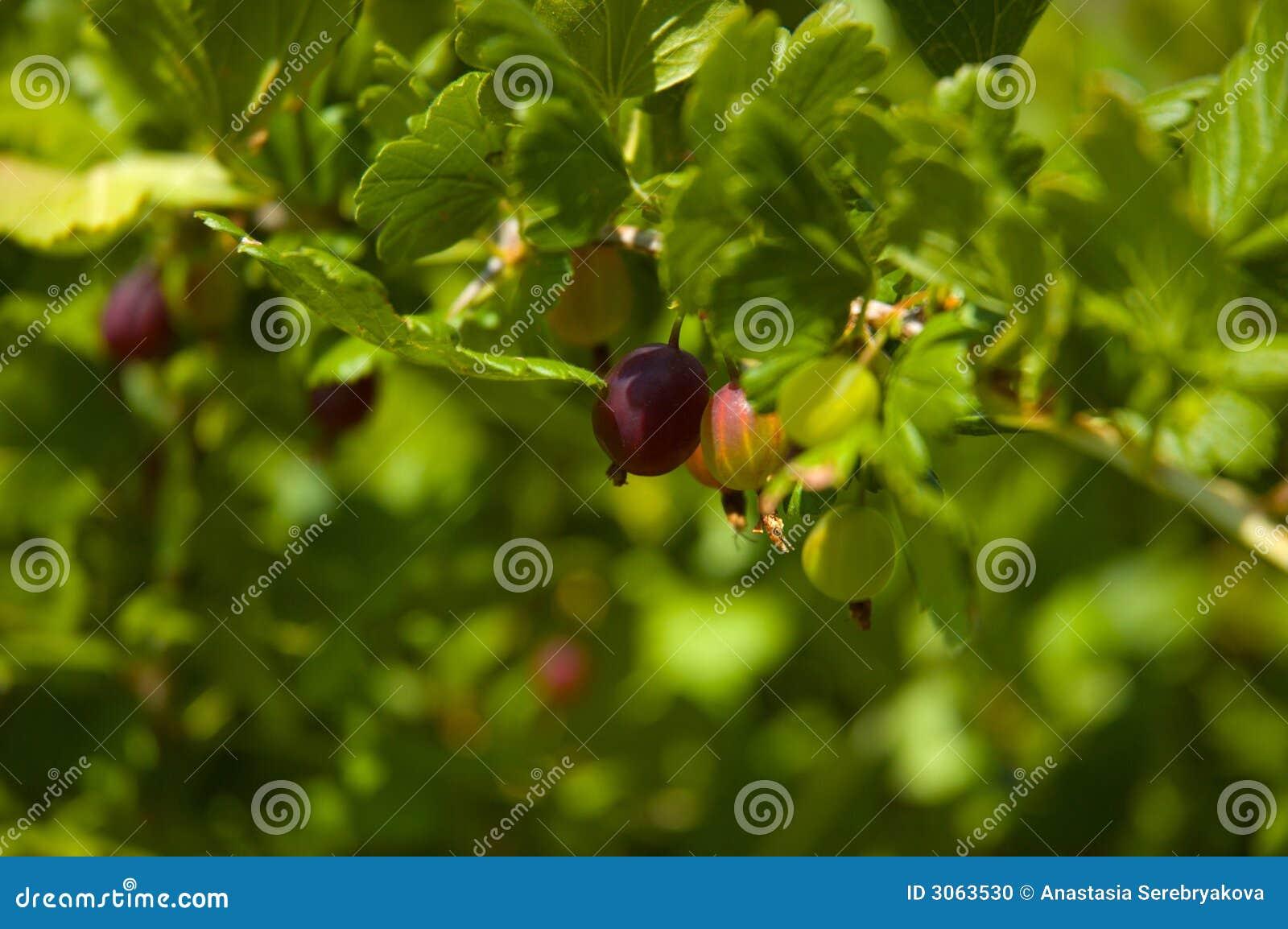 Gooseberry_bush