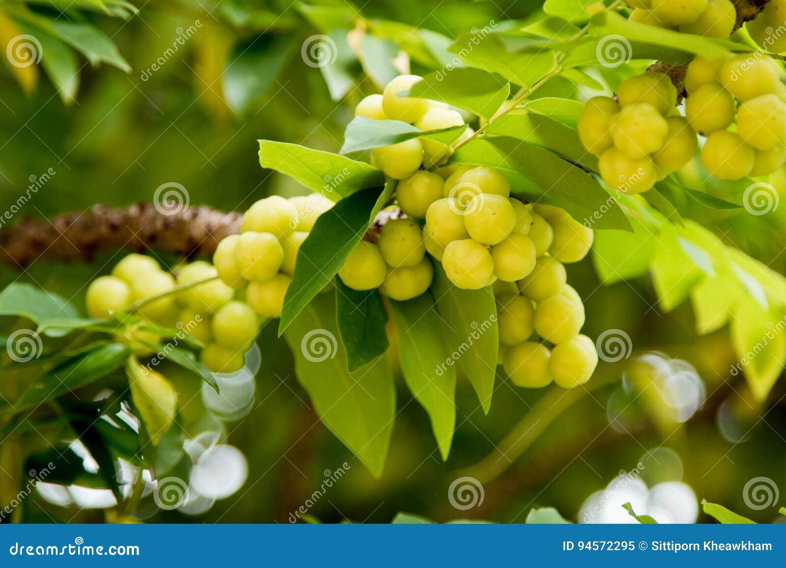 Gooseberry da estrela na árvore