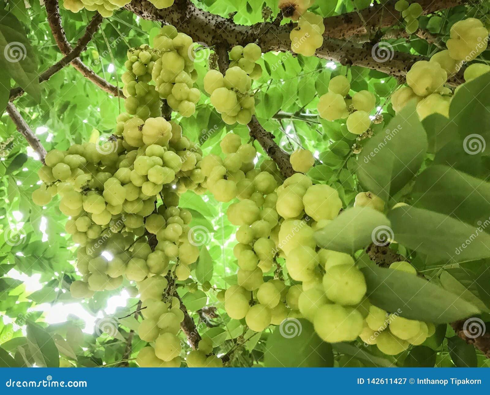 Gooseberry on the tree