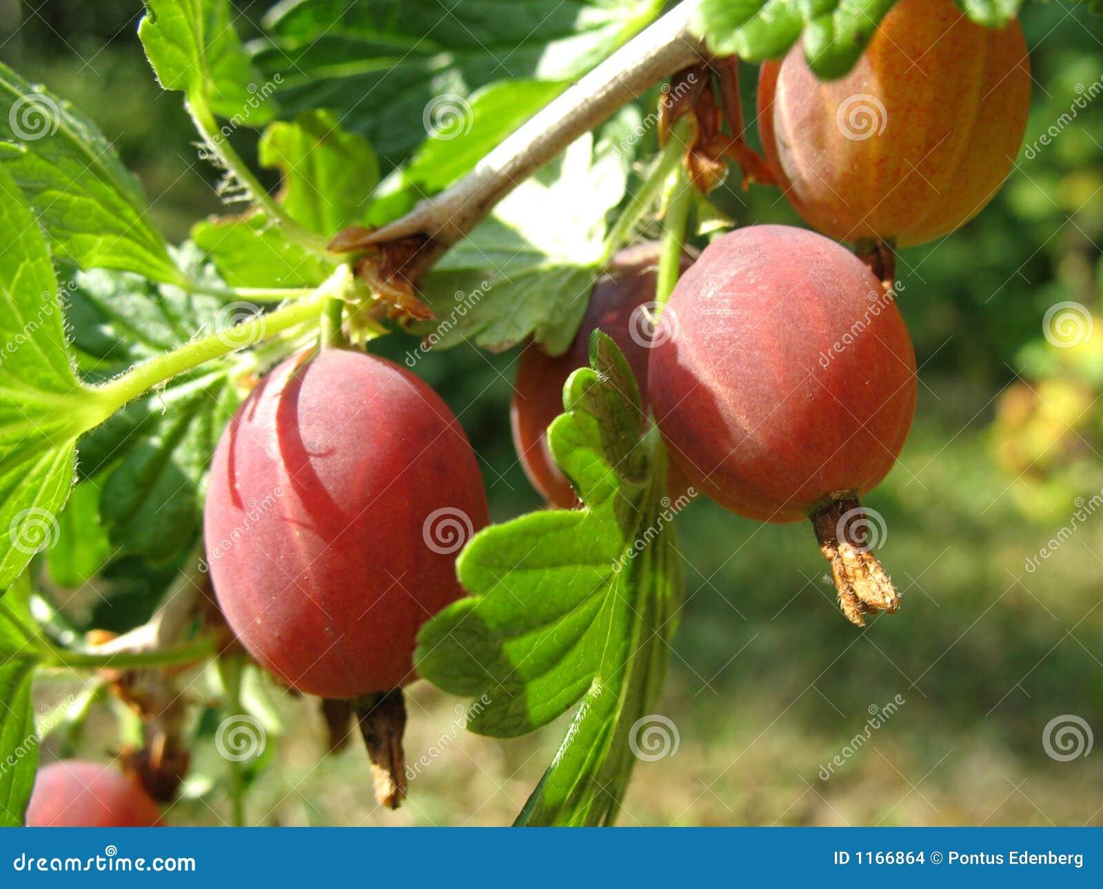 Gooseberry vermelho 2