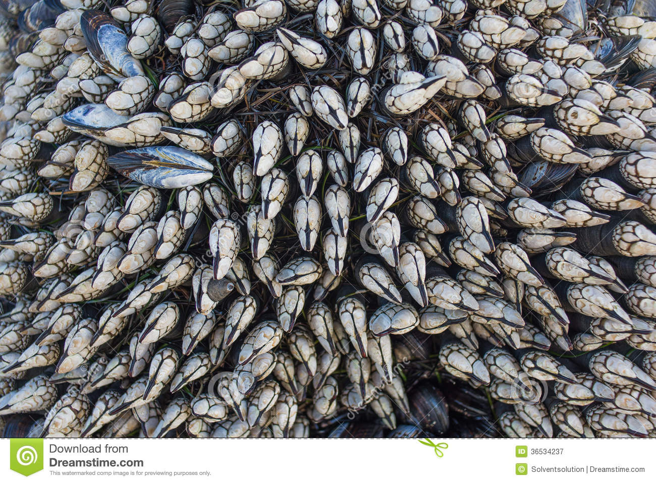 Gooseneck Barnacles (Pollicipes Polymerus) Royalty Free Stock ... Zoology Pictures Animals