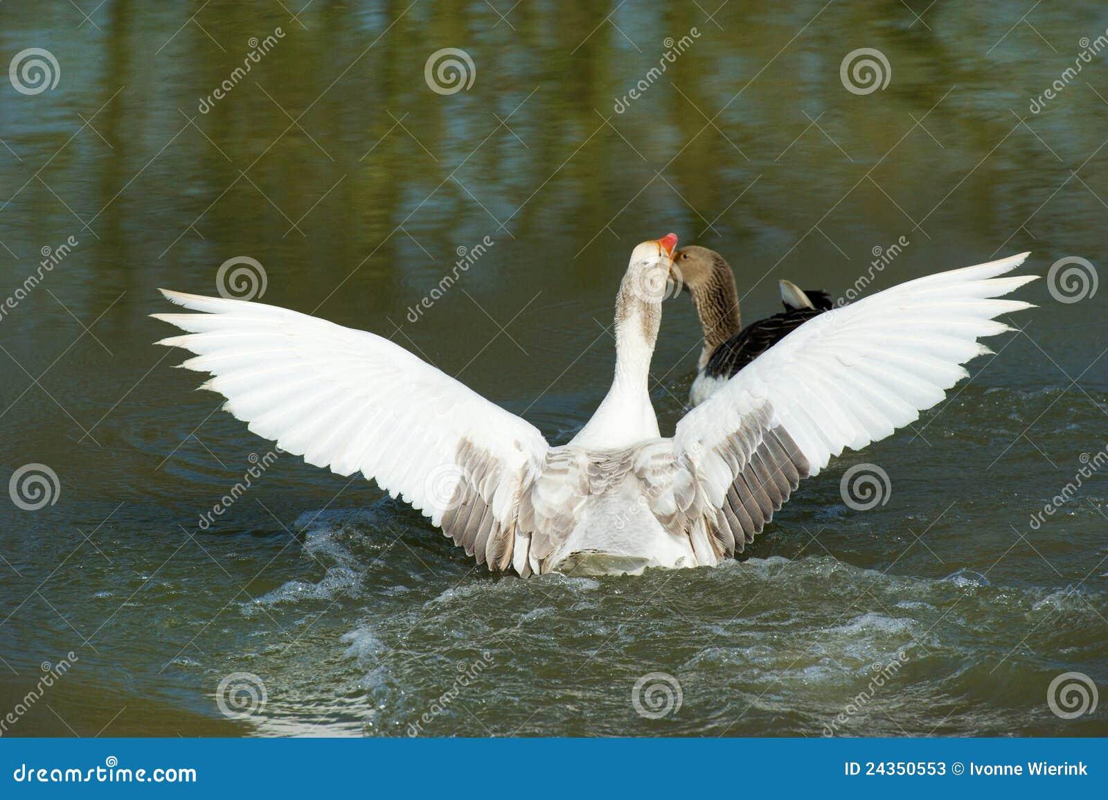 Gooses greyland