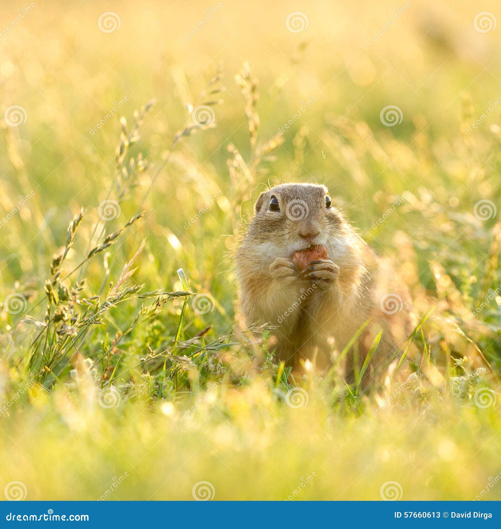 Gopher je hazelnut w nasłonecznionej trawie