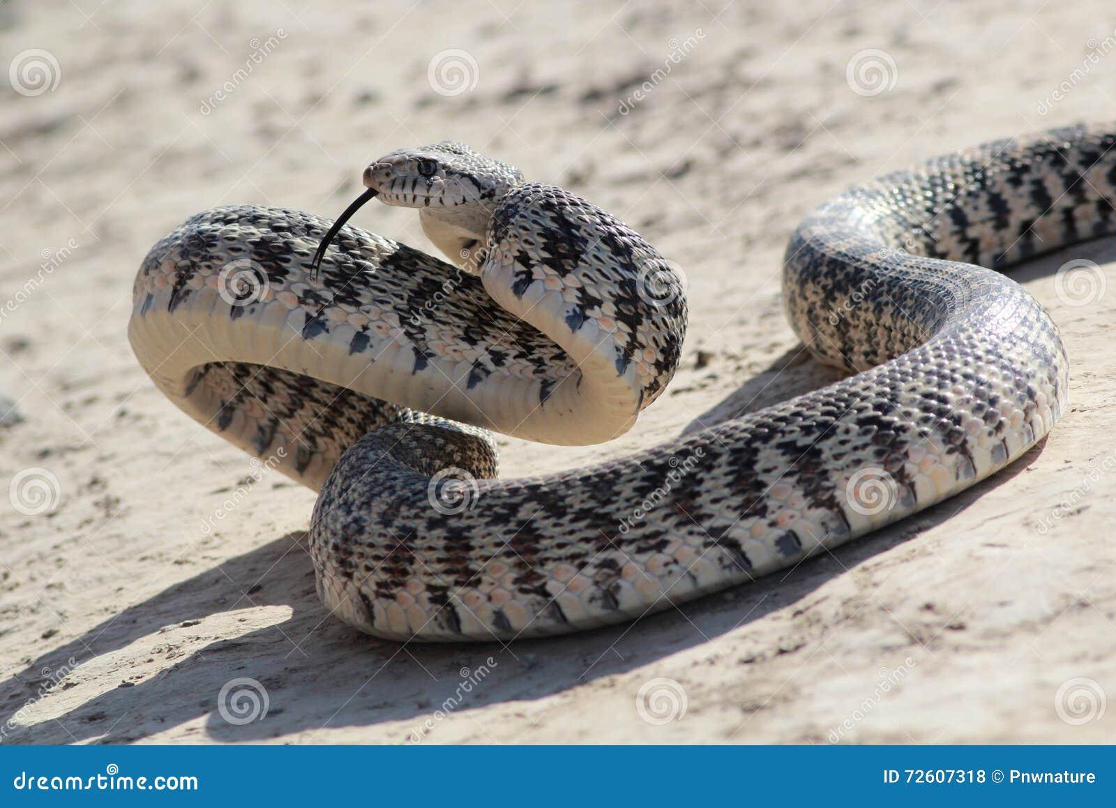 Gopher-Schlange in der Angriffs-Haltung