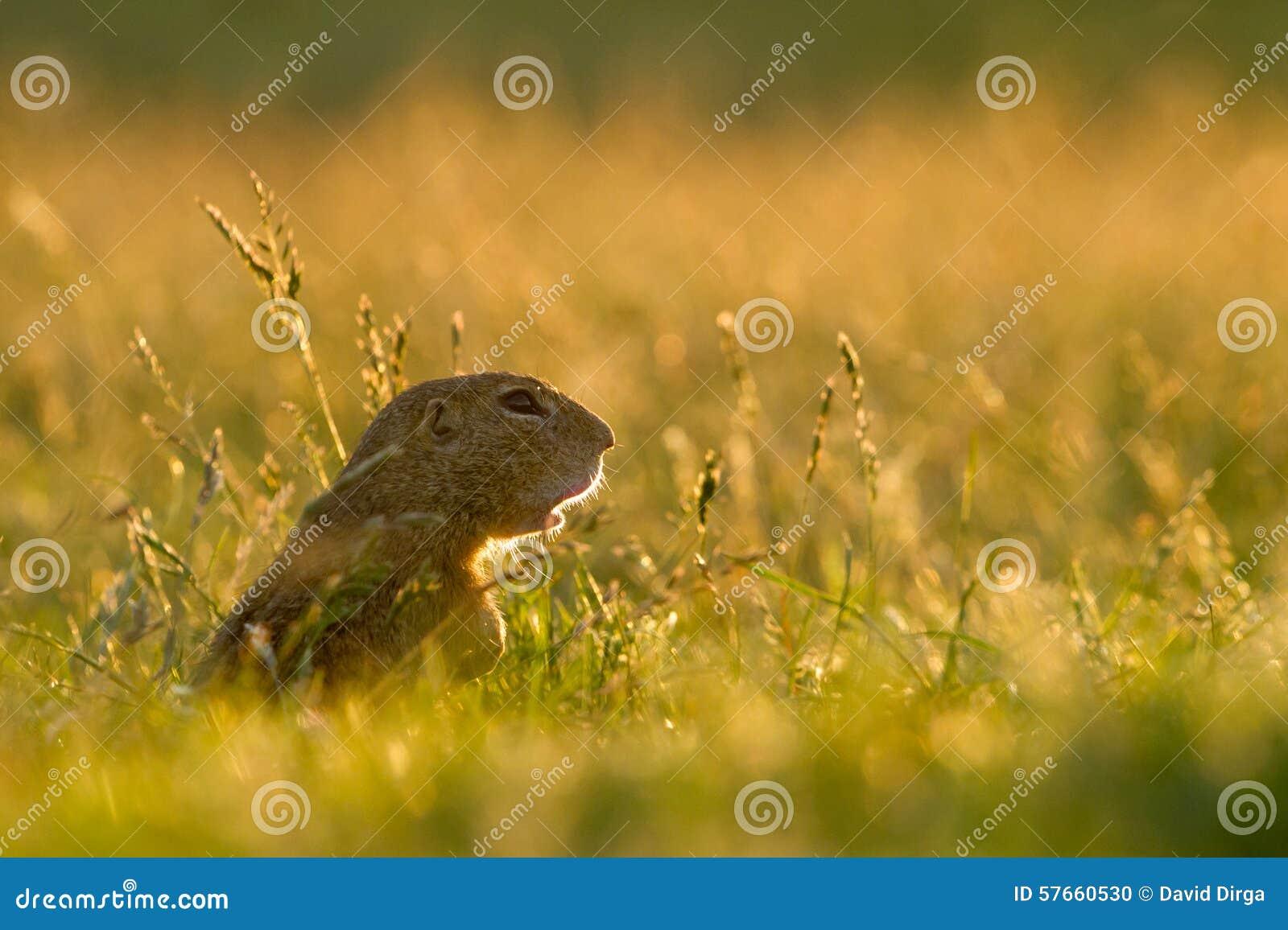 Gopher w trawie