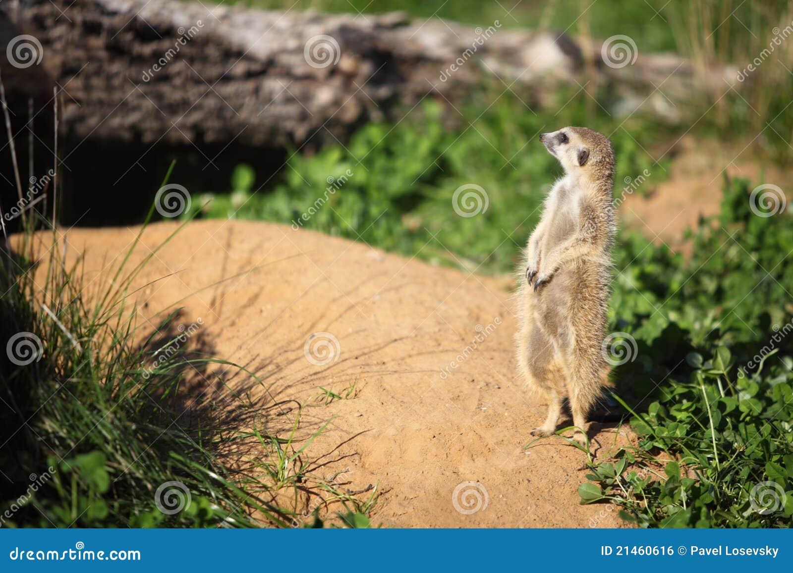 Gopherguard som hans mink nära plattforer till