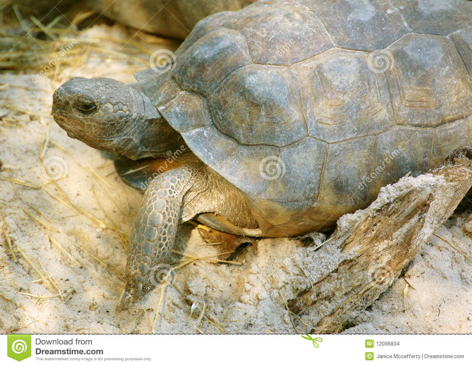 Gophersköldpadda