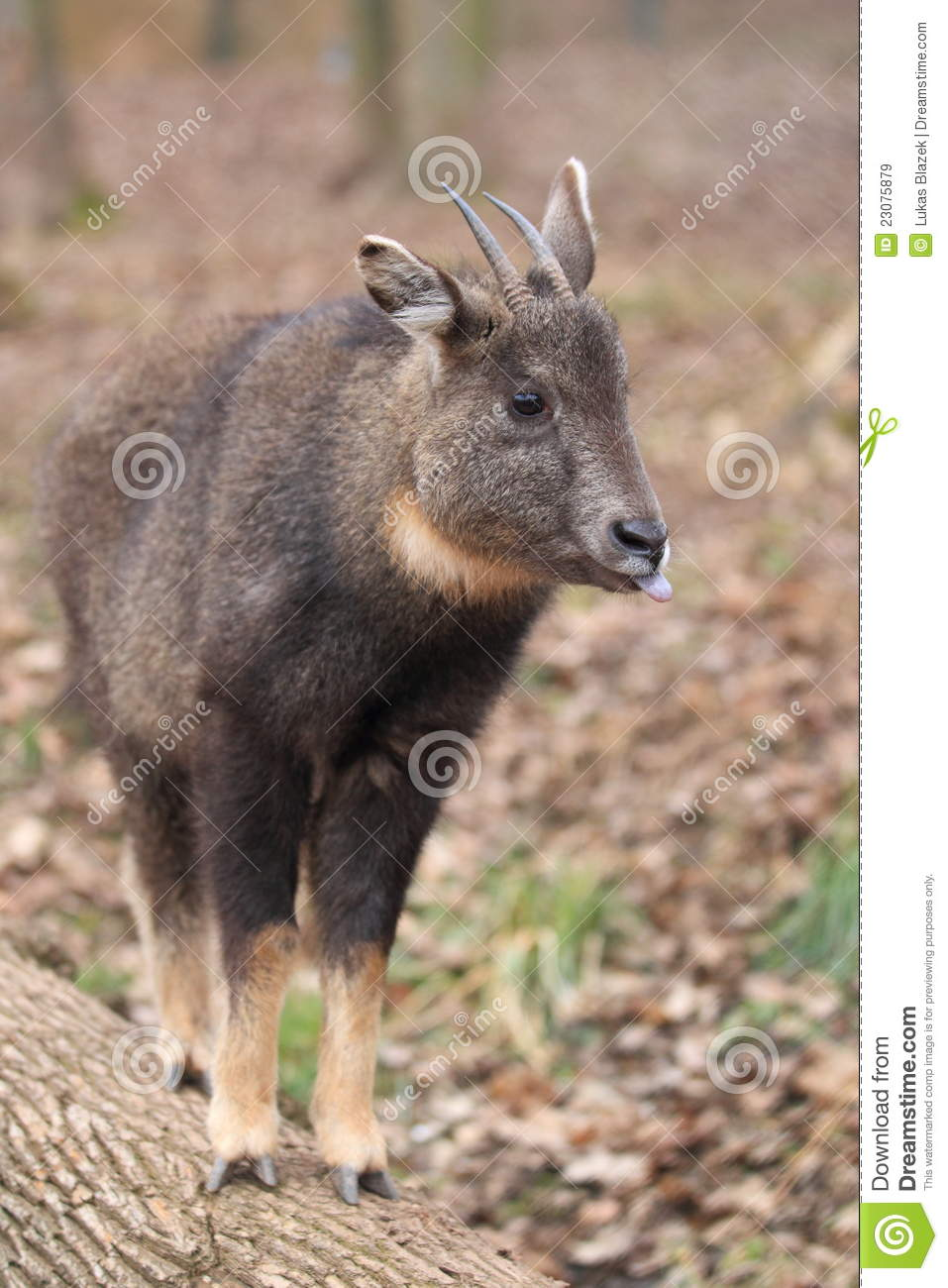 Goral Long-tailed