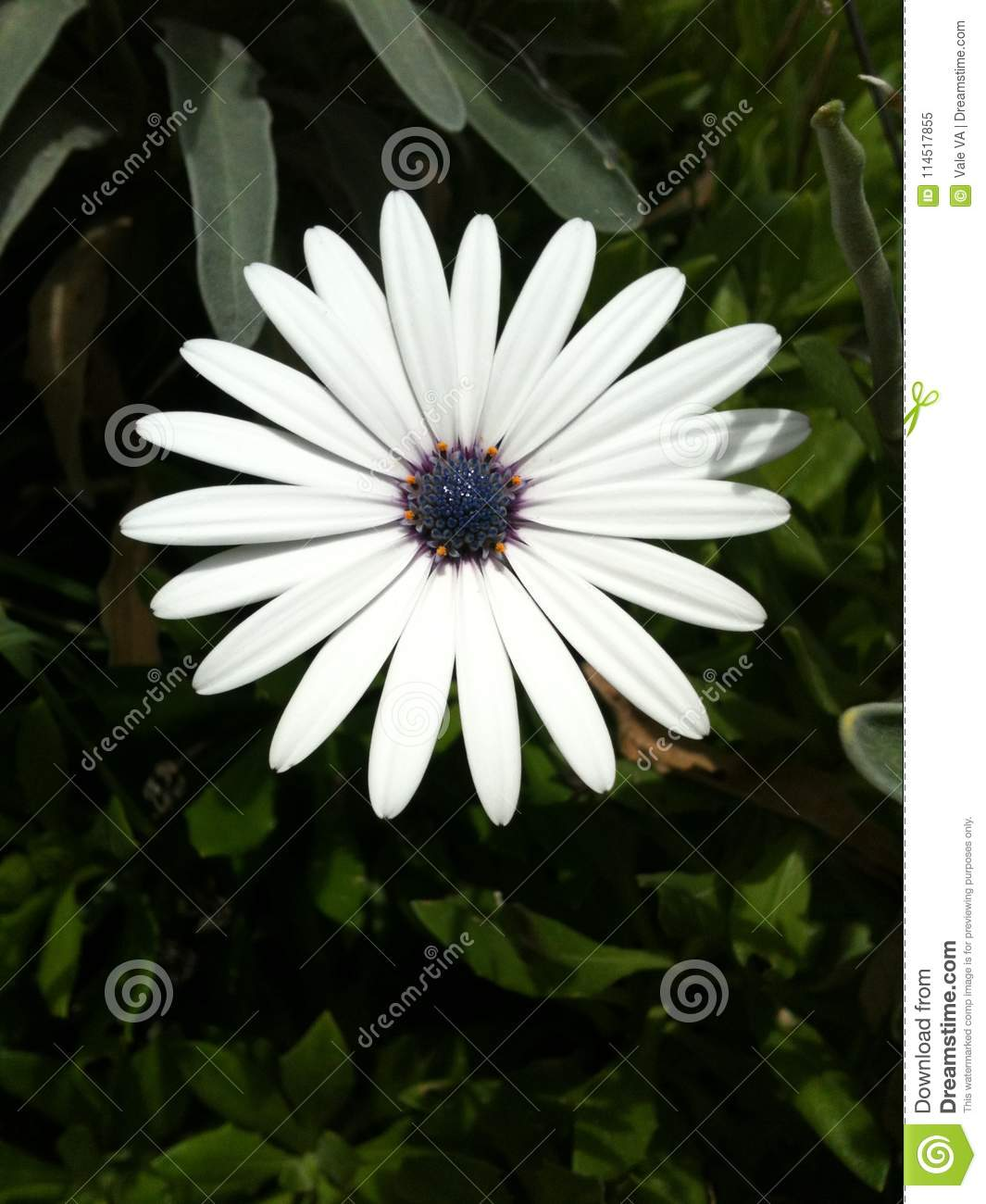 Gorgeous African Moon Flower Stock Image Image Of Amazing Intense