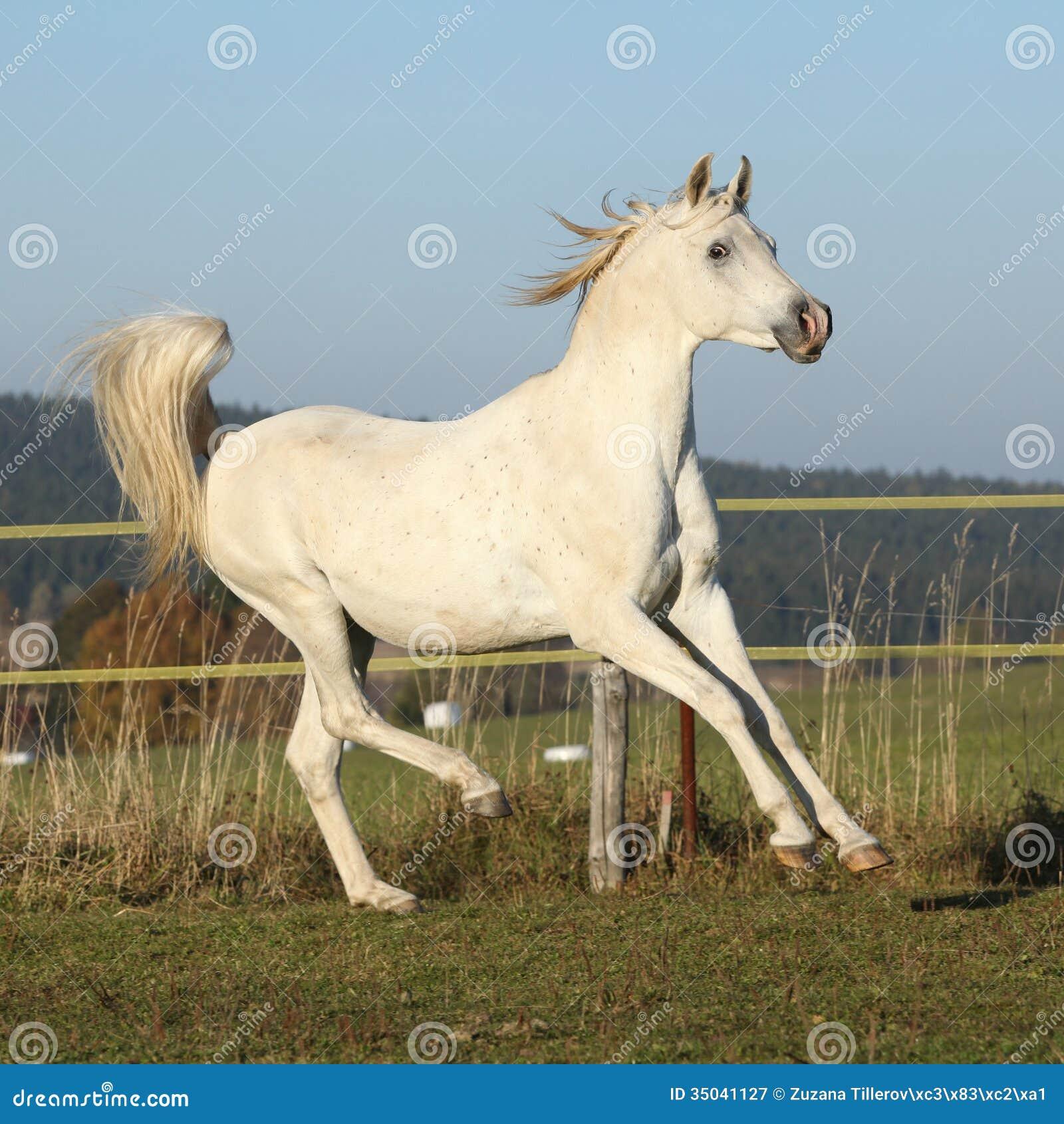 Gorgeous Arabian Horse Running On Autumn Pasturage Royalty ...