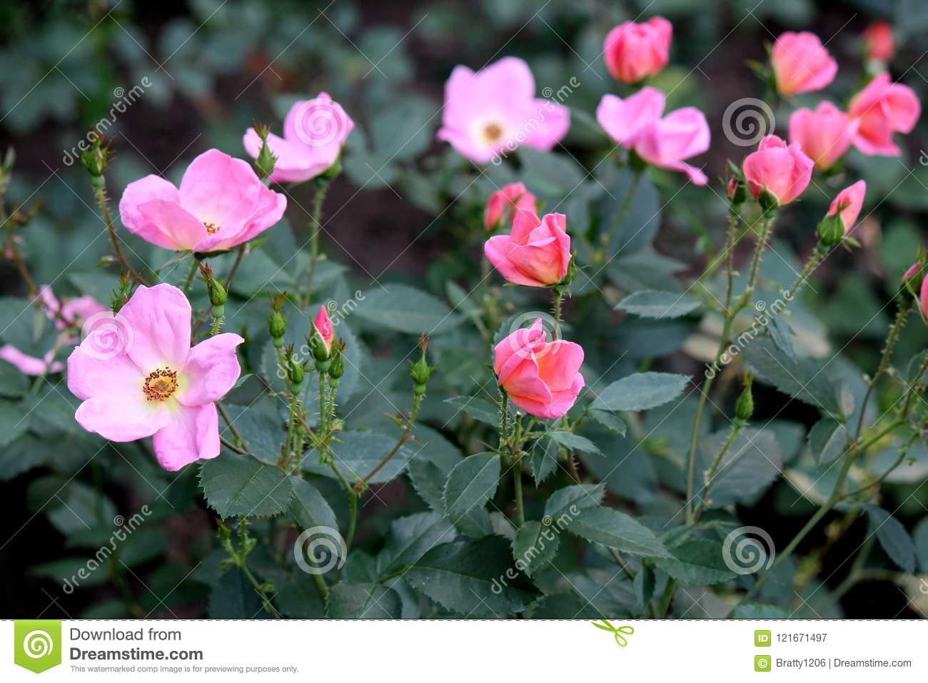 Dark Green Background Of Rose Bush Leaves With Bright Pink Flowers